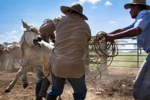 A couple of 'llaneros' struggle to hold a calf during a 'trabajo de llano', a traditional farm labor in during which the cattle is vaccinated and branded.