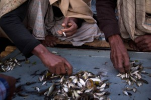 Ranjeet and his partners split the catch. As rivers dry up and the fish population decreases, Ranjeet and his team barely make a living. Ranging from US$8 to US$12, their daily income supports around 25 people.