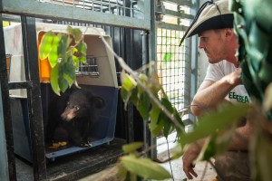 "Free The Bears' Regional Director Nev Broadis, waits patiently for moon bear cub Number 182 to voluntarily settle into his new home at the Quarantine Center at the Phnom Tamao Wildlife Rescue Center. ""He'll be able to rest and take on some good food. The future's looking bright for this little cub,"" he says."