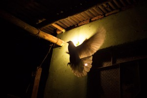 A pigeon flies to its nest at Orlando's house. Orlando joined Colombia's second biggest guerrilla group The National Liberation Army (ELN) at the age of seven, after having being raped and rejected by his family. He demobilised over 15 years ago. Cundinamarca, Colombia.